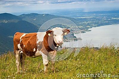 Vaca nos alpes