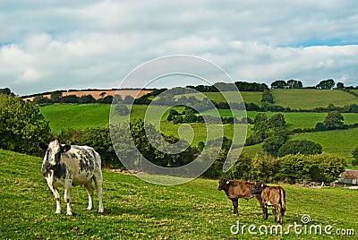 Vaca y becerros.