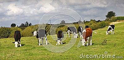 Vacas con la impar hacia fuera