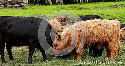 Vacas Da Highland Graze Num Pasto De Verão Bovinos Escoceses Andando Em Prado No Dia Do Verão 4 K vídeos de arquivo