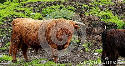 Vacas Da Highland Graze Num Pasto De Verão Bovinos Escoceses Andando Em Prado No Dia Do Verão 4 K filme