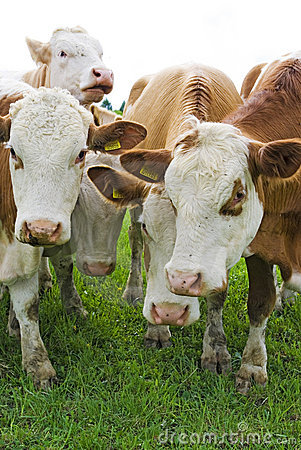 Vacas do gado