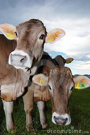 Vacas em alpes