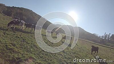 Vacas en campo abierto almacen de metraje de vídeo