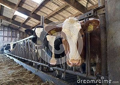 Vacas en establo