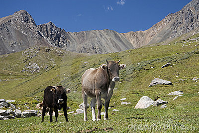 Vacas en Kirguizistán