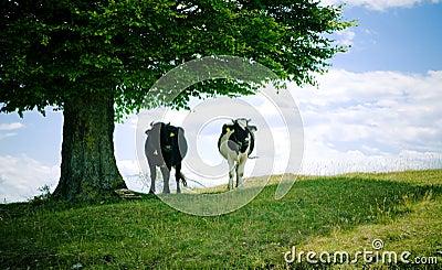 Vacas na máscara