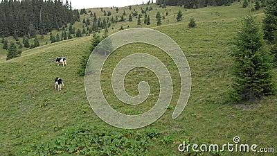Vacas pastando en las montañas pastos en los bosques de abeto metrajes