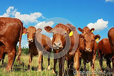 Vaches avec le ciel