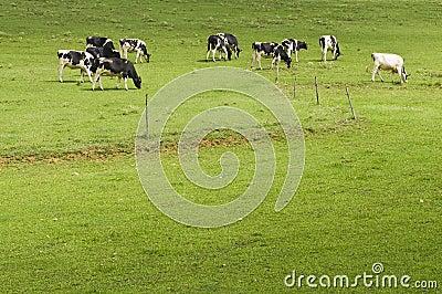 Vaches dans le pâturage