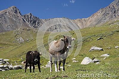 Vaches en le Kyrgyzstan