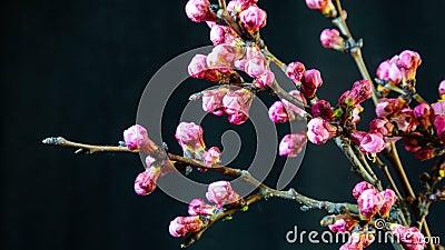 Vackra våraprikosträdet blommar öppet arkivfilmer