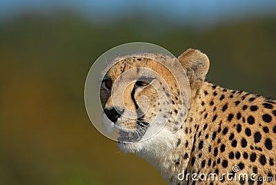 Vagabundeo del guepardo