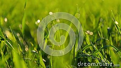 Vage achtergrond van gras op een zonsondergang achtergrondclose-up nave Het concept het milieu stock footage