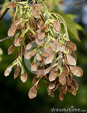 Vagens da semente do bordo do Sycamore