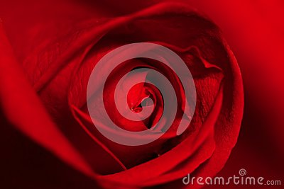 Valentine,Red Rose,Single Flower,Nature