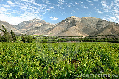 Valle del Elqui vineyard