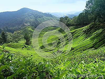 Valle del tè