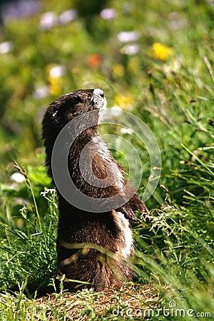 Free Vancouver Island Marmot Royalty Free Stock Photography - 12264507
