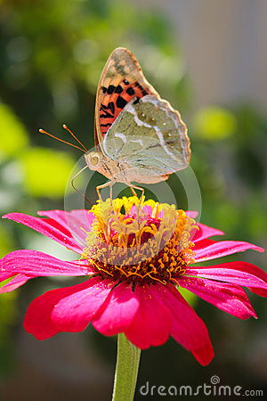 Free Vanessa Cardui Butterfly On The Flower Zinnia Stock Image - 44402671
