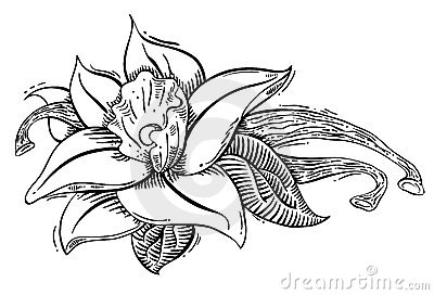 Vanilla flower and spice illstration