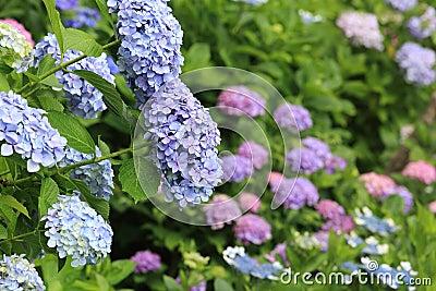 Vanlig hortensia