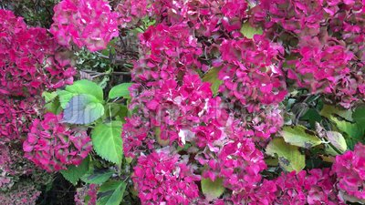 Vanlig hortensiabuske i nedgången