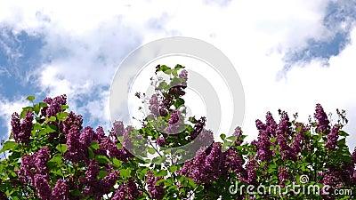 Vanlig Lilac, Syringa Vulgaris, mot ett molnigt luftrum stock video