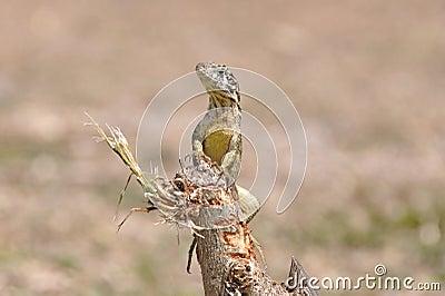 Varadero Lizard