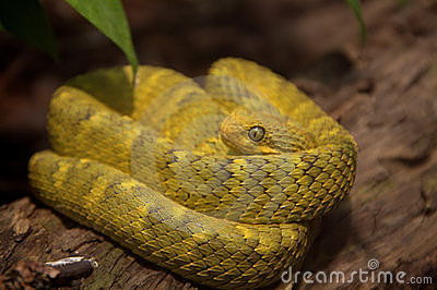 Stock Photography: Variable Bush Viper Snake. Image: 18