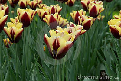 Varicolored tulip flowers field