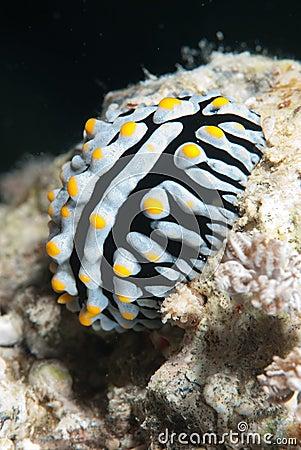 Free Varicose Wart Slug (Phyllidia Varicosa) Stock Photography - 11469872