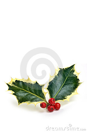 Variegated holly sprig