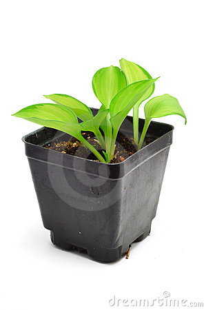 Variegated Hosta Seedling Isolated on White