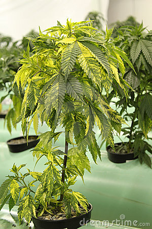 Variegated Marijuana Cannabis Plant Royalty Free Stock