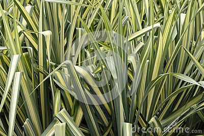 Variegated sedge grass stock image image 36671011 for Ornamental grass yellow