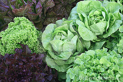 Variety of organic lettuces