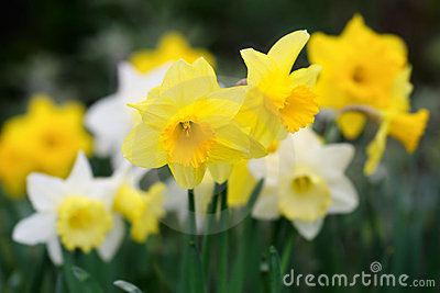 Variety of yellow and white trumpet daffodils