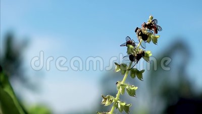 VARIOUS BEES IN THE SKY. A group of small bees pollinating the flowers of Basil plant with the sky in the background, shown in the video 4K stock video footage