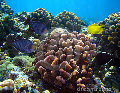 Various tropical fish and corral at Maui Hawaii