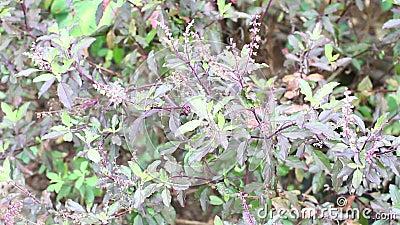 Varm basilikaväxt (Ocimumhelgedomen)