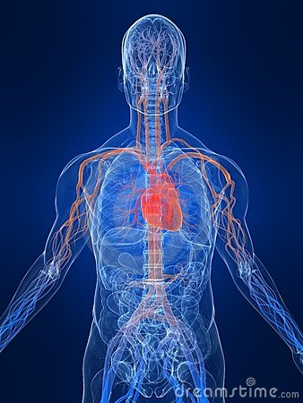 Free Vascular System Royalty Free Stock Photography - 6730617
