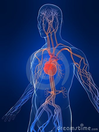 Free Vascular System Royalty Free Stock Photography - 6730637