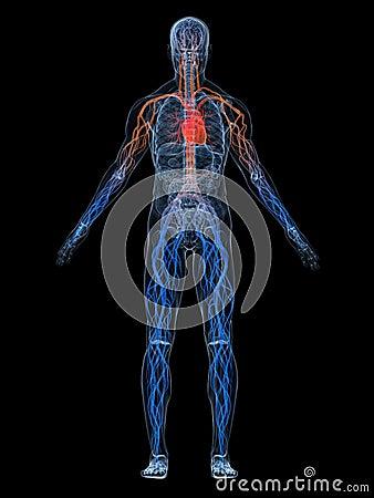 Free Vascular System Royalty Free Stock Photos - 6730718