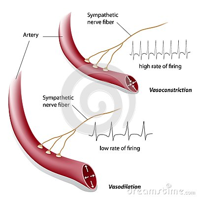 Vasoconstriction and vasodilation control