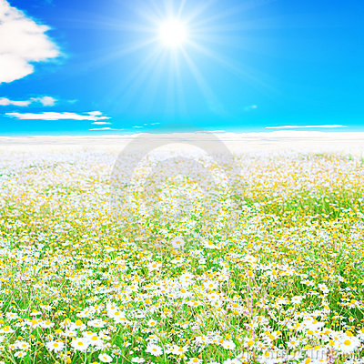 Vast field sunlit and white with daisies