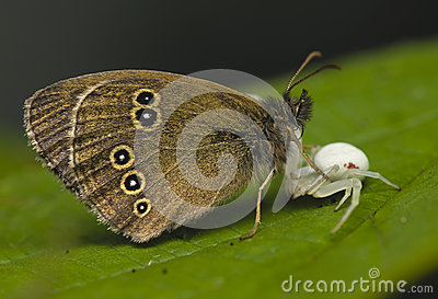 Vatia misumena hyperantus επίθεσης aphantopus