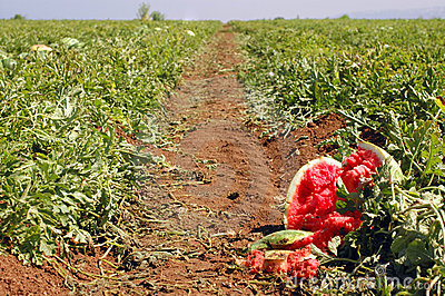 Vattenmelon för fältbana s