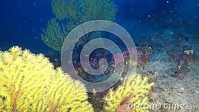Vea los gorgonians del throgh en el filón mediterráneo profundo almacen de video