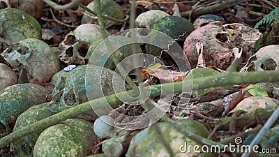 Vecchi crani umani muscosi su terra con i rami e le monete, cimitero di Trunyan video d archivio